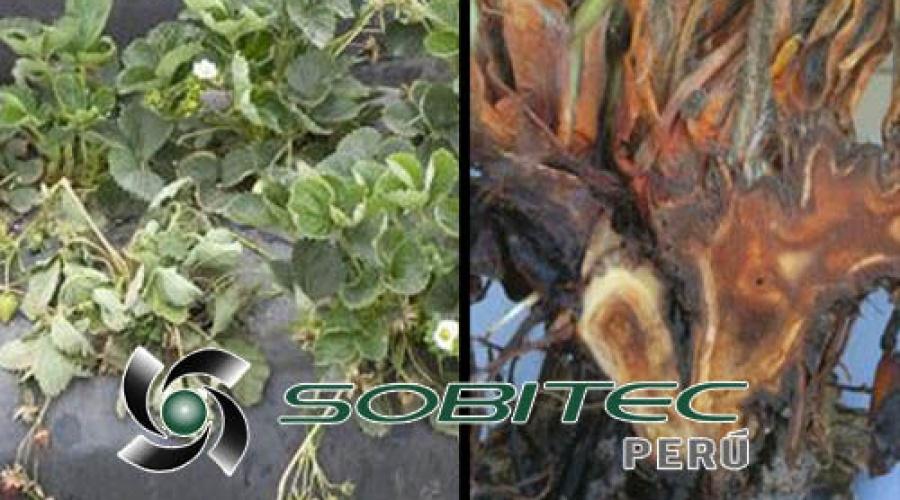 Como controlar la enfermedad fungosa denominada pudrición carbonosa de la corona de la fresa